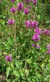 Bentony - Stachys Officinalis