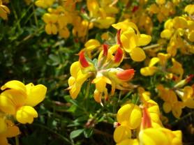 Birdsfood Trefoil - Lotus Corniculatus