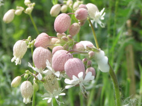 Bladder Campion - Silene Vulgaris
