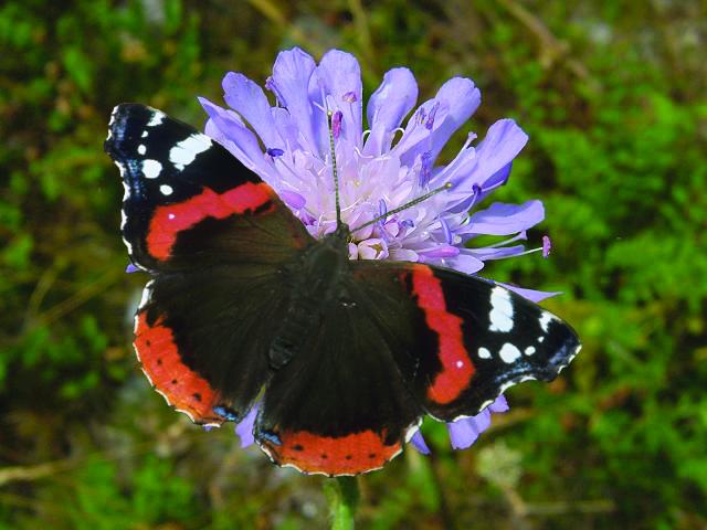 Butterfly Wildflower Seed Mix, Wild Flower Mixture