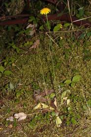 Catsear - Hypochaeris radicata