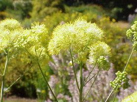 Common Meadow Rue - Thalictrum flavum