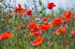 Common Corn Poppy; Papaver rhoeas; Flanders Field; Wildflower Seed Mixes Mixtures