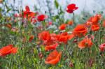 Common Corn Poppy; Papaver rhoeas; Flanders Field; Wildflower Seed Mixes Mixtures
