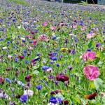 Contrasting Annuals Wildflower Seed Mix, Wild Flower Mixture
