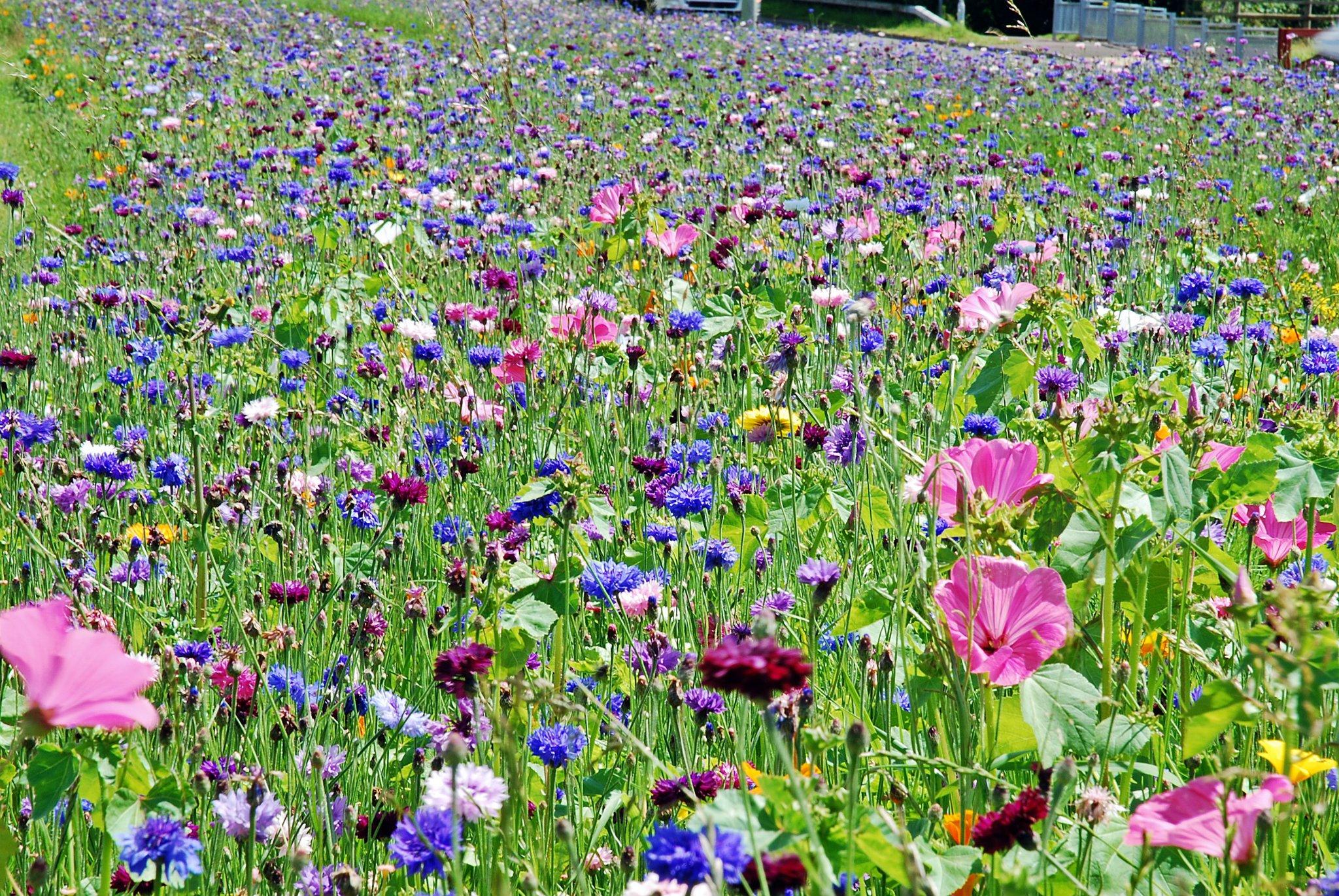 Contrasting Annuals Wildflower Seed Mix, Wild Flower Mixture