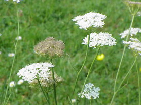 Corky fruited water dropwort - Oenanthe pimpinelloides