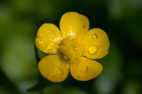 Corn Buttercup - Ranunculus arvensis