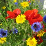 Cornfield Annual Wildflower Seed Mix, Wild Flower Mixture