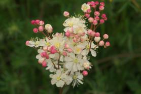 Dropwort - Filipendula vulgaris