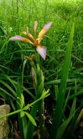 Gladdon - Iris foetidissima