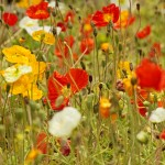 Golden Summer Annuals Wildflower Seed Mix, Wild Flower Mixture