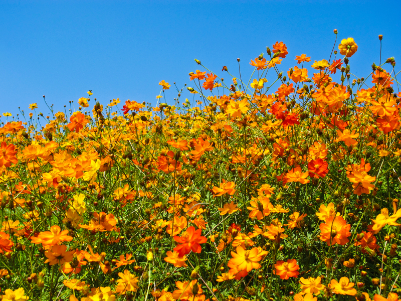 Golden Summer Perennials Wildflower Seed Mix, Wild Flower Mixture