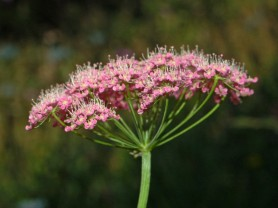 Greater Burnet Saxifrage - Pimpinella major
