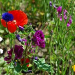 Hardy Annuals Wildflower Seed Mix, Wild Flower Mixture