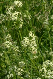 Hedge Bedstraw - Galium album