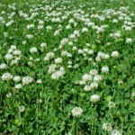 Legume and Fertility Seed Mix, Mixture