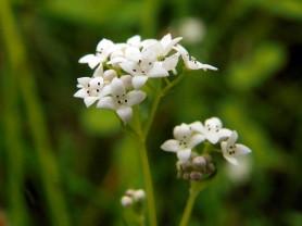 Marsh Bedstraw - Galium palustre