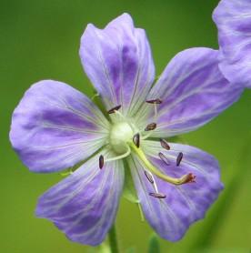 Meadow Cranesbill - Geranium pratense