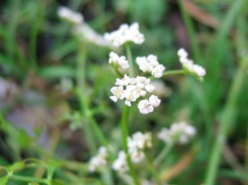 Milk Parsley - Thyselium palustre