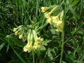 Oxlip - Primula elatior