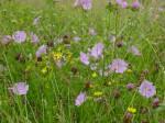 PFS1 - DrySandy Soil Wildflower Seed Mix, Wild Flower Mixture