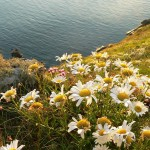 PFS11 - Coastal Area Wildflower Seed Mix, Wild Flower Mixture