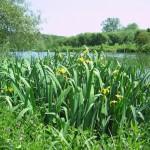 PFS5 - Wetland Pond Edge Wildflower Seed Mix, Wild Flower Mixture