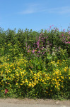 PFS6 - Hedgerow and Shade Wildflower Seed Mix, Wild Flower Mixture