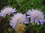 PFS7 - Calcareous Soil Wildflower Seed Mix, Wild Flower Mixture
