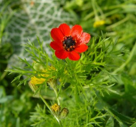 Pheasants Eye - Adonis annua