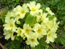 Primrose - Primula vulgaris