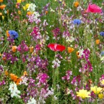 Purple Glade Wildflowe Seed Mix, Wild Flower Mixture