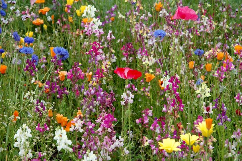 Purple Glade Wildflowe Seed Mix, Wild Flower Mixture