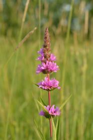 Purple Losestrife - Lythru salicaria