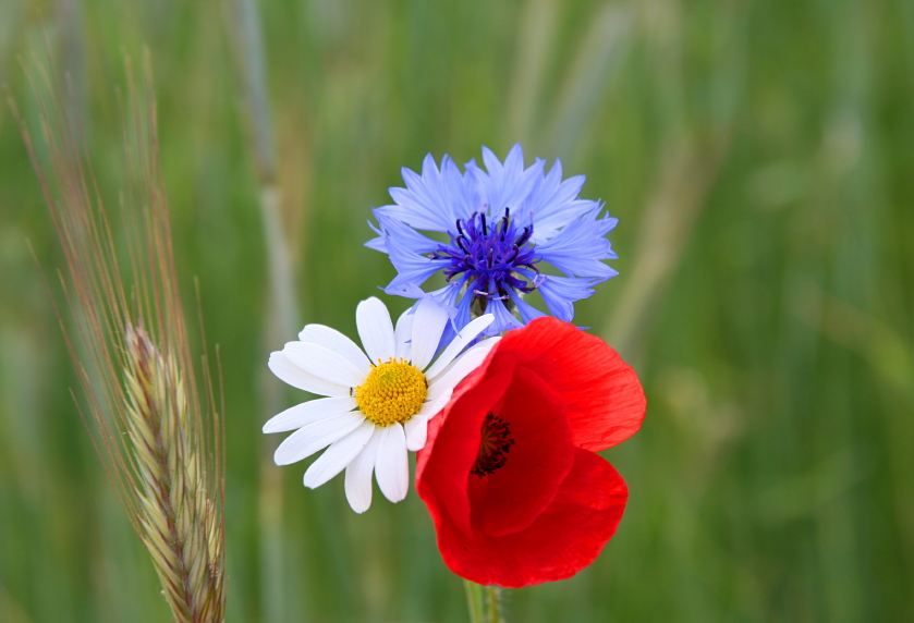 Red, White and Blue (Jubilee) Wildflower Seed Mix, Wild Flower Mixture