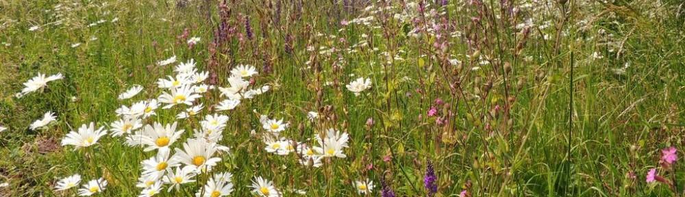 Leighton Buzzard station wildflowers