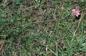 Sainfoin - Onobrychis viciifolia