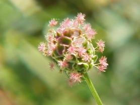 Salad Burnet -  Poterium sanguisorba