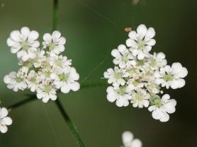 Upright hedge parsley - Torilis japonica