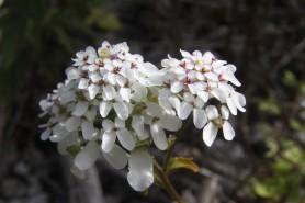 Wild Candytuft - Iberis amara