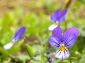 Wild Pansy - Viola tricolor