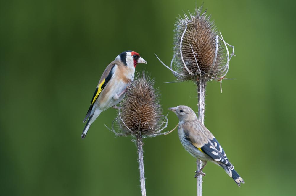 Wildlife Wildflower Seed Mix, Wild Flower Mixture