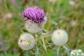 Woolly Thistle -Cirsium eriophorum
