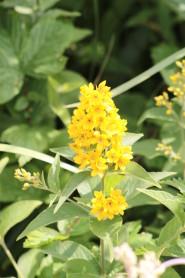 Yellow Loosestrife - Lysimachia vulgaris