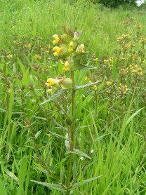Yellow Rattle - Rhinanthus minor