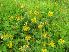 Greater Birdsfoot Trefoil - Lotus pedunculatus